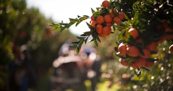 Mouton Citrus orchard